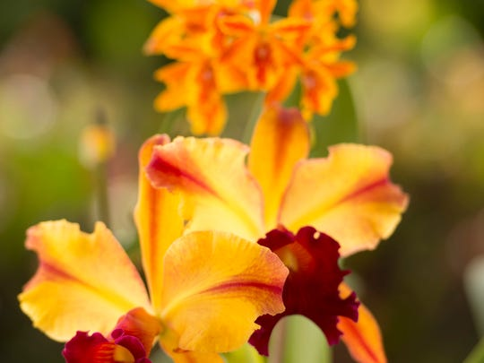 The Orchids, Orchids & More plant sale at the Port St. Lucie Botanical Gardens on Saturday, August 26, 2017 in Port St. Lucie.
