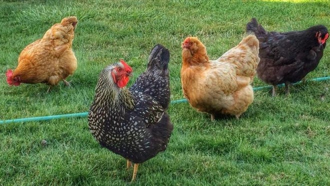An Aumsville nuisance ordinance recently passed by the city council allows city residence to raise chickens.