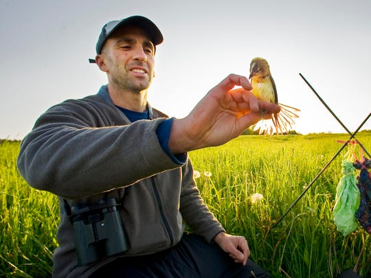 Noah Perlut of the University of New England in Biddeford, Maine holds a bobolink after measuring it and taking a sample of its blood while conducting a survey of the species and other birds in a pasture at Shelburne Farms on May 17, 2012.