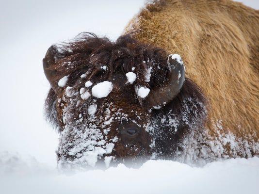 FAL 0310 bison relocation.FALPresto
