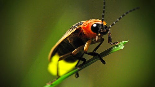 Fireflies are found on every continent except Antarctica. Around the world, there are over 2,000 species, and about 200 species in North America. Some species of fireflies don't light up.