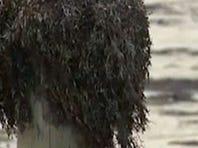 Researchers considering Galveston seaweed as cash crop