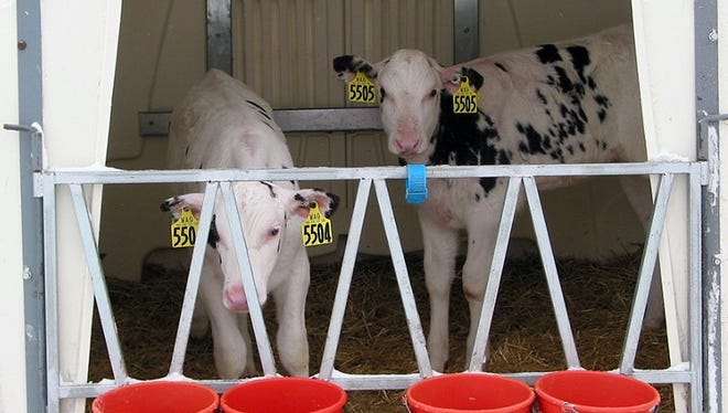 One of the 80 super hutches that house young calves on the Wagner farm.