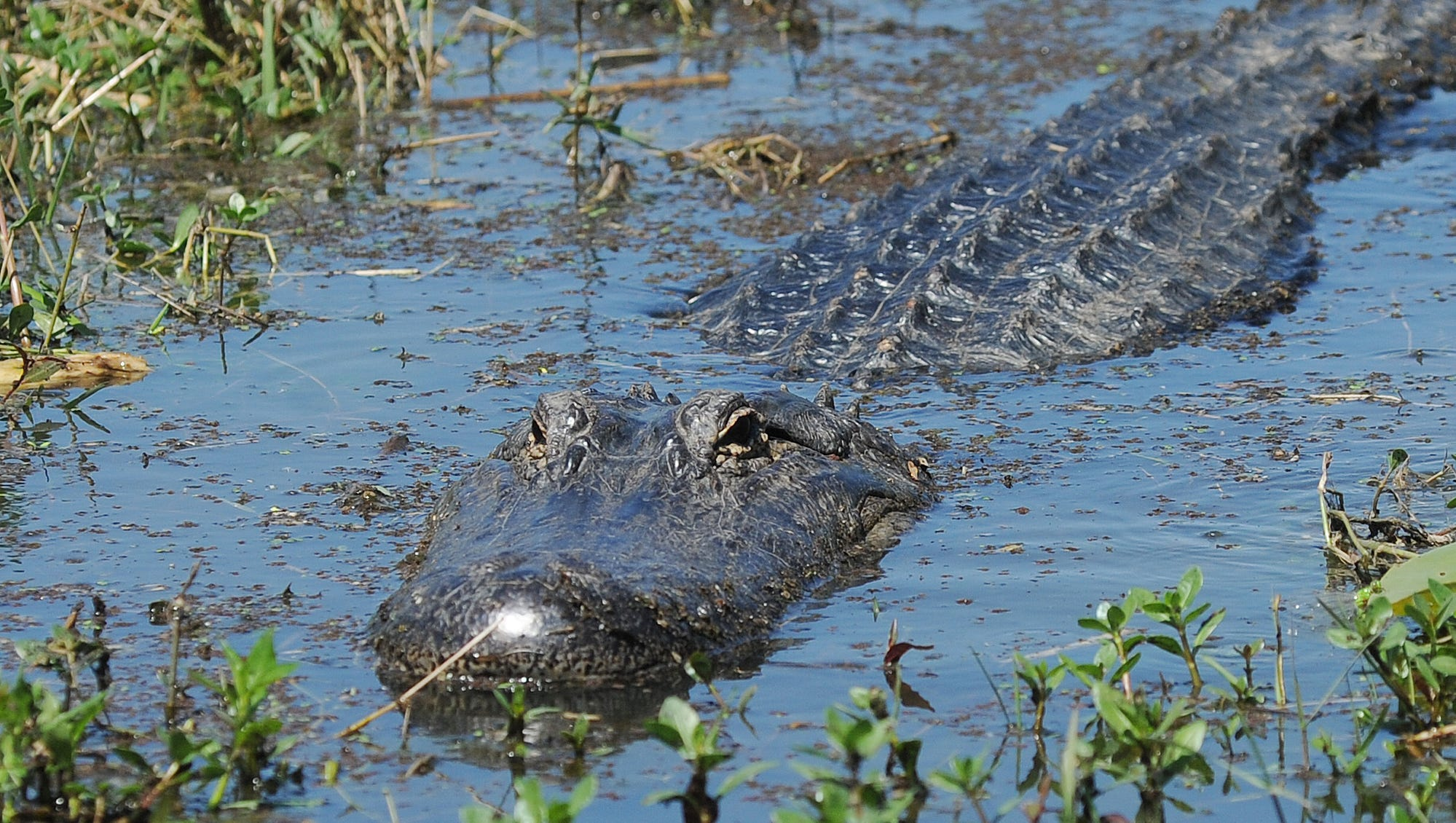 How to Avoid an Alligator Attack