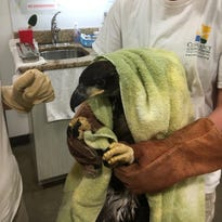 4 chuck-will's-widows, young bald eagle treated for injuries