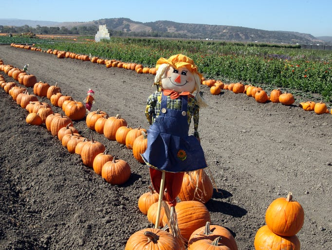 A scarecrow stands at the start of the pumpkin trail
