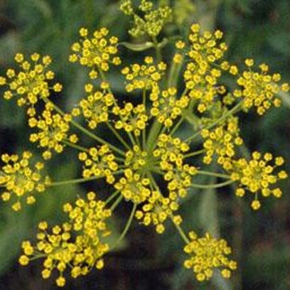 Image of a wild parsnip.