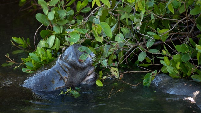 Manatees eat mangrove leaves lining Willoughby Creek on Monday, Nov. 21, 2016, as seen from the St. Lucie Boulevard/Indian Street bridge in Martin County.