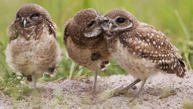 A juvenile burrowing owl, center, preens a sibling in a Cape Coral open lot.