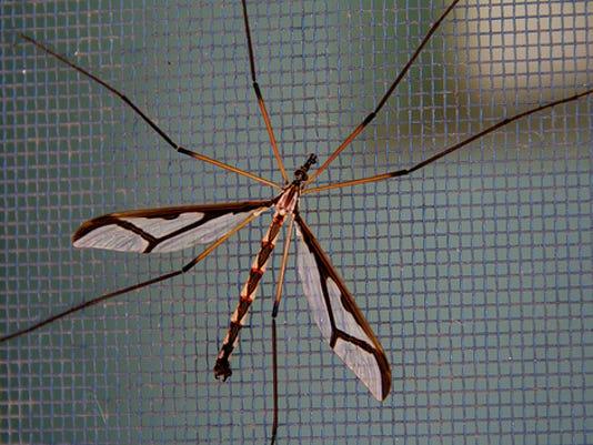 Giant Eastern Crane Fly