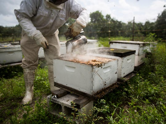 Tom May uses smoke to coax the bees out of the hive on Tuesday, June 20, 2017, at the South Naples Citrus Grove. May has hives across Southwest Florida.