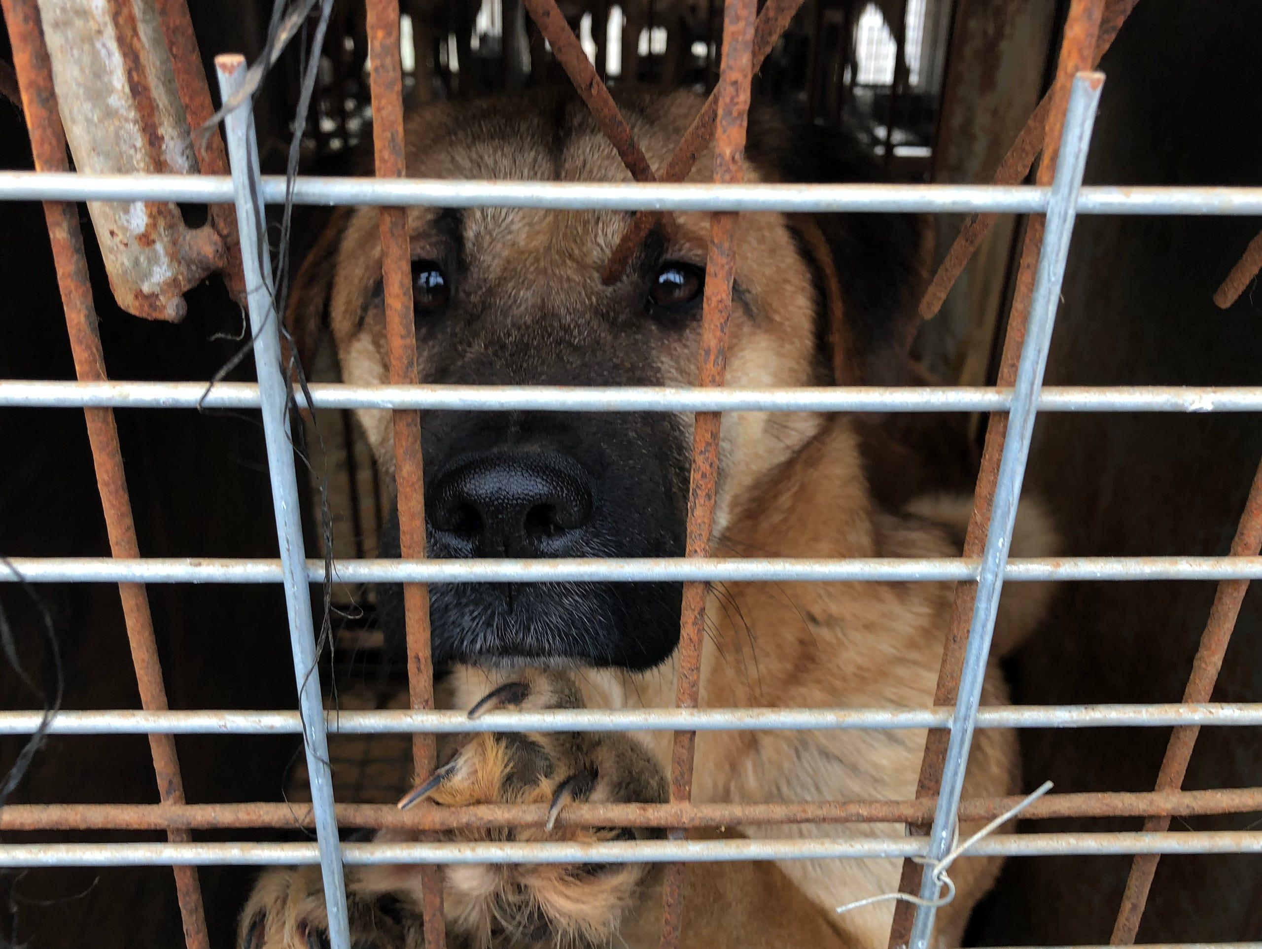 7a0bc6dd A dog looks out from a cage at a dog farm in South Korea.