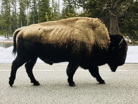 A bison walks along the road near the west entrance