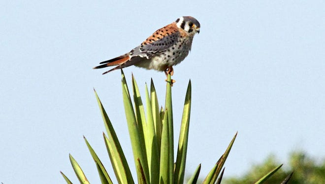 An American kestrel perched on a plant.