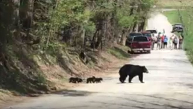 Screen capture from video of mama bear and cubs in Cades Cove in mid-April 2017. The video was taken by Catherine S. Blakespear.
