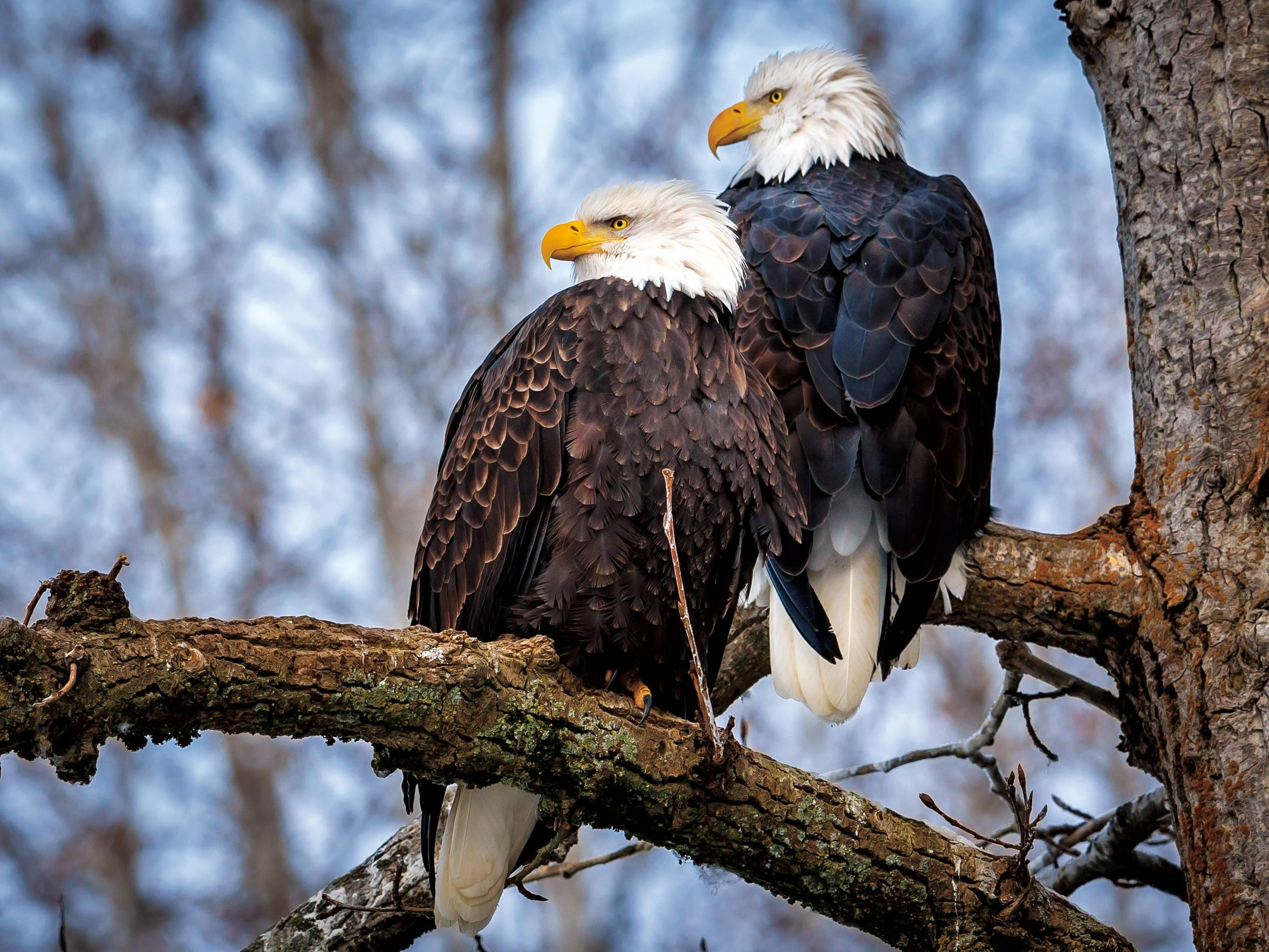 Eagles perch together on a lookout.