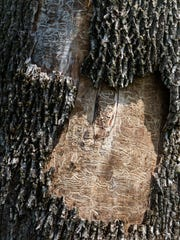 Telltale scars under the bark of a dead ash tree bear the evidence of the destructiveness of the emerald ash borer.