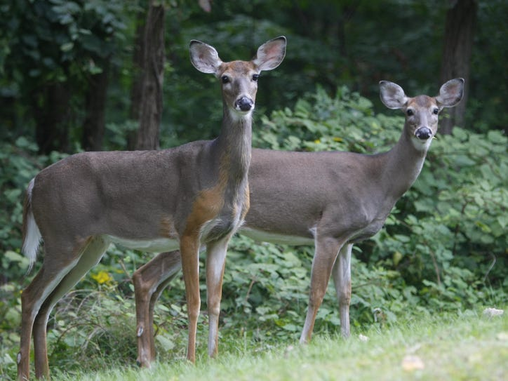 Deer eat along the side of the road in Cortlandt Manor