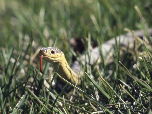 #stockphoto Garter Snake Stock Photo