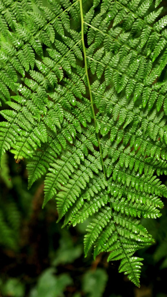 Ferns grow along the Redwood Creek Trail in California's Redwood National Park.