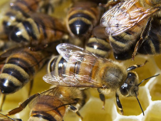 Bees crawl on a frame removed from a beehive at a monthly