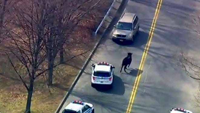 A bull that escaped from a local slaughter house is pursued by police in New York. Police corralled the bull in a backyard in the Queens borough of New York, after a two-hour chase that continued even after the bull's hide was studded with tranquilizer darts.