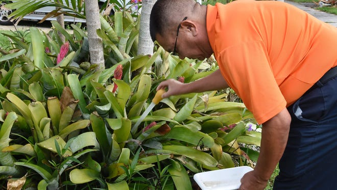 Entomologist and Miami-Dade mosquito control manager Chalmers Vasquez searches standing water in a bromeliad for the Aedes aegypti mosquito at a home in Miami, on June 08, 2016.