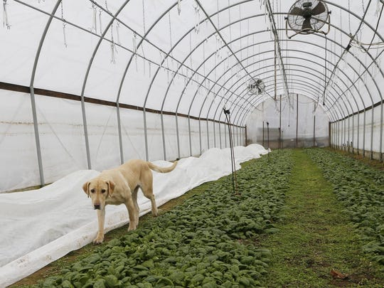 Bella trots through a greenhouse Monday, February 1, 2016, at the Weathered Plow in rural Carroll County.