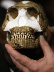 A reconstruction of Homo naledi presented during the