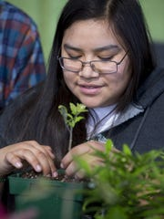 Mesa Community College student Cassiopeia Pattea  transplants tomatoes during a Greenhouse management class on January 21, 2016.