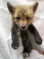 A baby red fox. The Big Bend Sierra Club will host