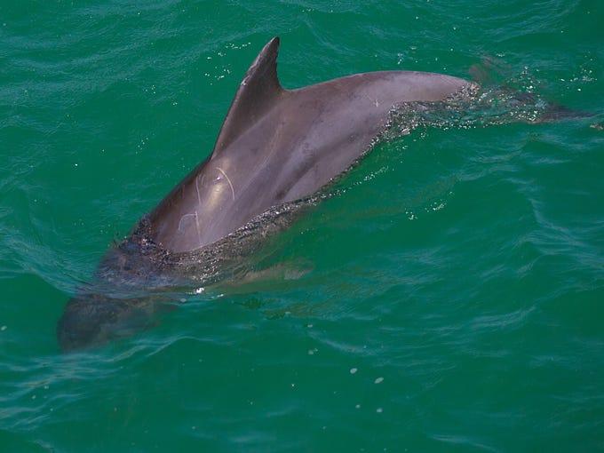 A dolphin hunts for food near the Naples pier on Tuesday,