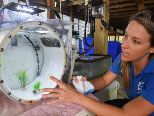 Brittany Biber, animal care director at Florida Oceanographic Society, discusses raising one-day-old seahorses Tuesday, April 24, 2018, at the organization's Coastal Center on Hutchinson Island. The numbers of native seahorses in the Indian River Lagoon are dwindling, and FOS staffers hope to raise awareness about the importance of the tiny creatures in local waterways. (Photo: JEREMIAH WILSON/TCPALM)