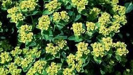 Euphorbias flowers are usually small and nondescript. They prefer partial shade and good drainage.