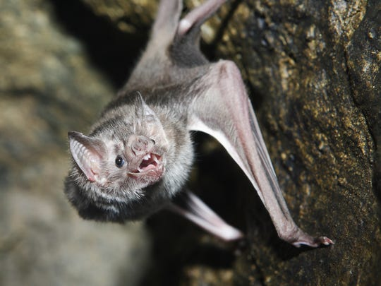 THEY SUCK YOUR BLOOD: Most bats eat insects. The one species that does drink blood is the vampire bat, which lives in Mexico, Central America and South America, and usually feeds on animal blood. Of the 1,300 kinds of bats in the world, only three are vampire bats.