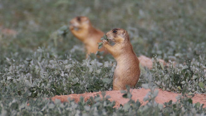 Utah health officials said Thursday, that a resident who died from the plague in August mostly likely contracted it from a prairie dog infected with the disease. State wildlife officials say the only confirmed outbreak of plague in prairie dogs this year was in an eastern Utah colony.
