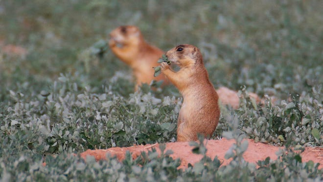 Wildlife managers under the Trump administration are loosening contentious endangered-species protections for Utah prairie dogs in a plan that's worrying for animal advocates but cheered by Cedar City residents who said their town was overrun.