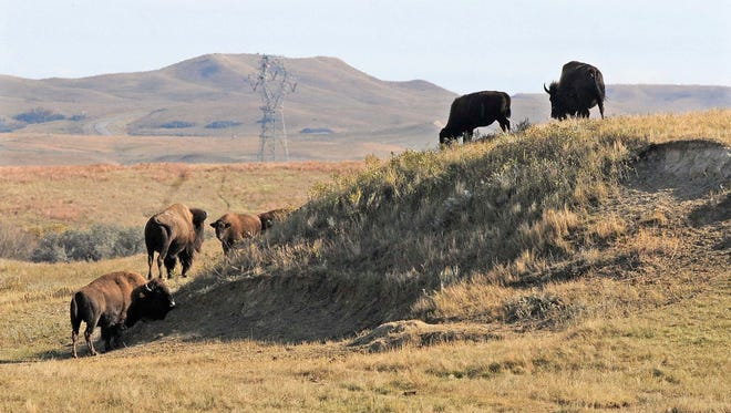 In an Oct. 10, 2016 photo, a group of bison graze a native grassland pasture in the rolling hills of Cannonball Ranch in Morton County south of Mandan, N.D.