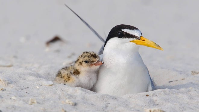 Gulf Islands National Seashore officials are stepping up efforts to protect shorebirds, which often fly across or wander onto seashore roads.  Special to the News Journal