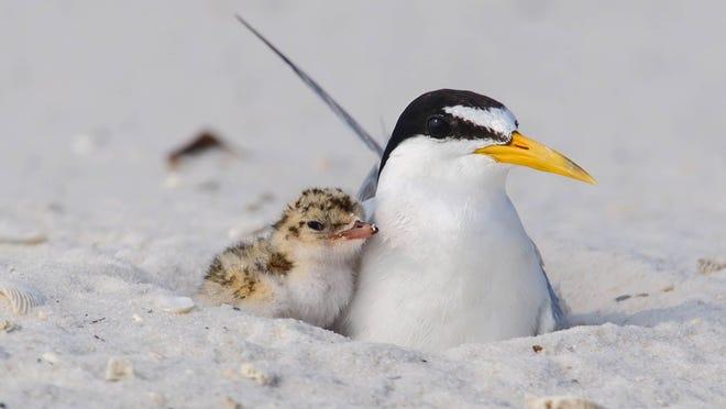 Shorebird nesting season is beginning.