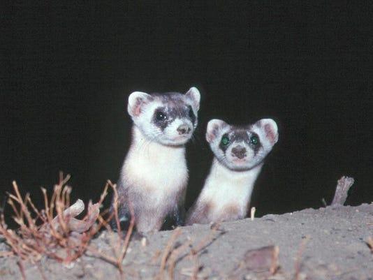 -black-footed ferret KITS96.JPG_20130207.jpg