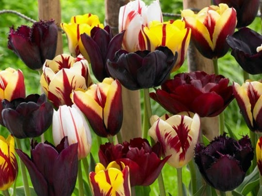 Endless Spring Burgundy Tulip Mix features burgundy, cream and red blooms.