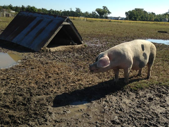 Pillow, an over 400-pound pig, will not become bacon but delivers two litters of 14 piglets per year.