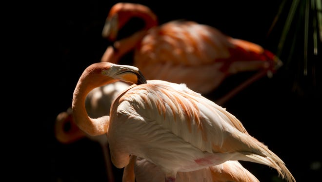 Thomas Hecker recently took over as the executive director of the Everglades Wonder Gardens in Bonita Springs and has plans to make the attraction even more attractive to future visitors. Flamingos are a big part of his plan.