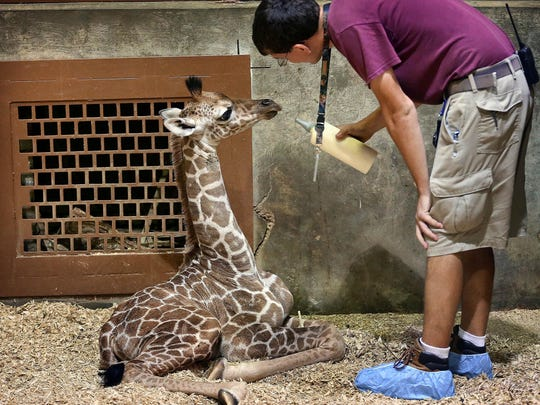 Zookeeper Jason Bankston feeds one of the Memphis Zoo's newest babies, Bogey, a reticulated giraffe born April 3 to Akili. When Akili rejected the baby, which is her first, zookeepers stepped in and are bottle feeding the young giraffe.