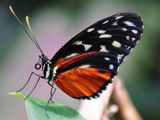 """""""Flutter Zone,"""" a walkthrough butterfly encounter featuring beautiful exotic tropical butterflies, is at the Maritime Aquarium at Norwalk."""