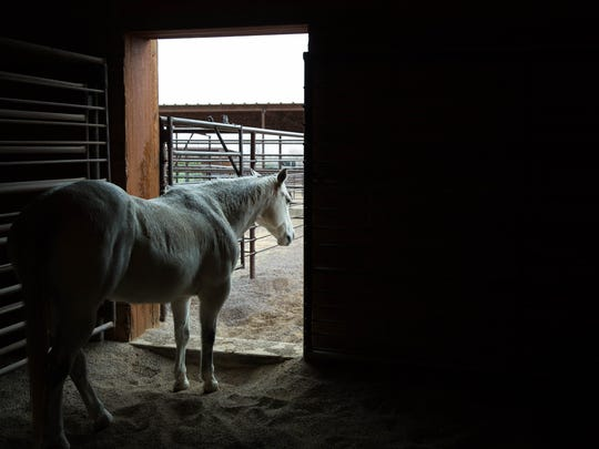 One of the horses at the New Mexico Farm and Ranch Heritage Museum stands in its stall during the morning rain. Thursday Feb. 15, 2018. Light rain began to fall around 7:30 a.m. , by 1p.m. nearly one-tenth of an inch had fallen at the Las Cruces Sun-News Office.