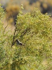 A sparrow perches in a shrub at Lahontan Reservoir.