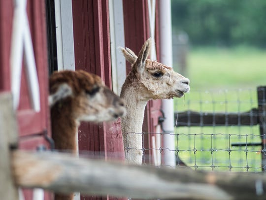 Alpacas at Shardick Suri Farm in Swatara Township on