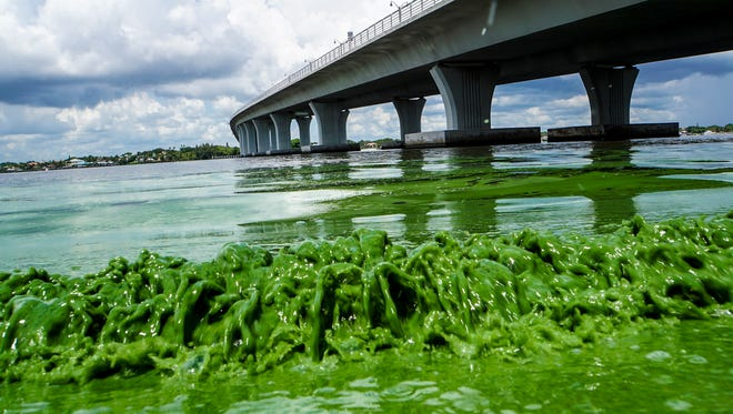 Water full of algae laps along the Sewell's Point shore on the St. Lucie River under an Ocean Boulevard bridge June 27, 2016. The Martin County Commission decided at an emergency meeting Tuesday to ask state and federal authorities to declare a disaster where blue-green algae has closed beaches. County officials on Florida's Atlantic coast want the U.S. Army Corps of Engineers to close the locks between Lake Okeechobee and the St. Lucie River.